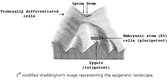 1st modified Waddington's image representing the epigenetic landcape