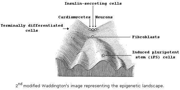 2nd modified Waddington's image representing the epigenetic landcape